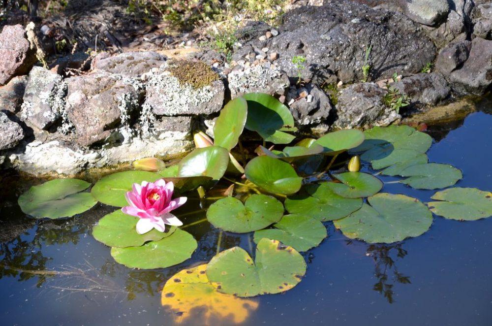 Lotus Flower_scroll